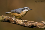 Red - breasted Nuthatch   2