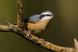 Red - breasted Nuthatch   3