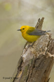Prothonotary Warbler  6