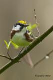 Chestnut - sided Warbler   2