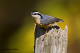 Red - breasted Nuthatch   4