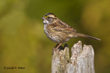 White - throated Sparrow   2
