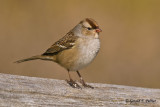 White - crowned Sparrow  ( immature )