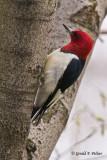Red - headed Woodpecker   2