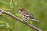 Yellow - rumpted Warbler  3