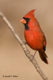 Northern Cardinal   4