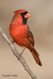 Northern Cardinal   5