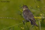 Red - winged Blackbird   8