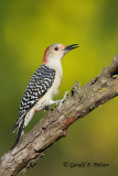 Red - bellied Woodpecker  (f)