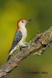 Red - bellied Woodpecker