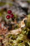tiny red berries