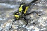 Yellow andblack dragonfly