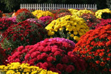 Picket Fence Mums
