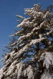 Neighboring Pine