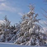 Neighboring Pines (5)