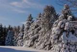 Snowy Row of Pines