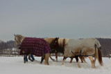 Walking the Horses to Pasture