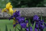 Fence Iris