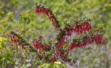 007_Fuchsia-flowered gooseberry__9105`1004171325.jpg