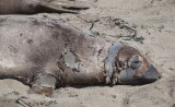017_Molting female elephant seal__9315`1004191506.jpg