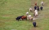 002_Cows on the run__9707`1004261442.jpg