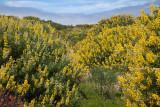 021_Yellow Lupine__1069`1006231411.jpg