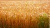 Standing Crops