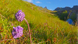 Wild Flowers, Lofotens