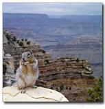 Squirrel on Grand Canyon Rim, AZ