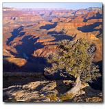 The Lonely Tree, Grand Canyon