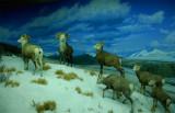 Natural History Museum Dioramas - 12/22/08