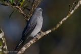 Cuckoo-Shrikes, Trillers & Minivets