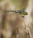 Golden Flangetail ¤j¹Î®°¬K¸» Sinictinogomphus clavatus