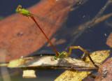 Orange-tailed Sprite ¯[²y¾ï¶Àîe Ceriagrion auranticum