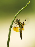 Asian Widow ¤»´³¦±½t»f Palpopleura sexmaculata