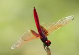 Crimson Dropwing ¾å½Å»f Trithemis aurora