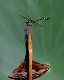 Common Flangetail ÅQ¤ý¸¬K¸»