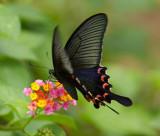Chinese Peacok ºÑ»ñ½º Papilio Bianor