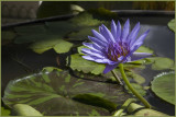 Water lily in Royal Palace