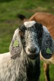 Dutch-Nubian Goat  - Nubische Hangoorgeit