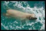 Polar bear raspoutine 5856.jpg