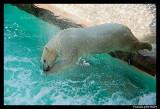Polar bear raspoutine 5867.jpg