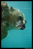 Polar bear raspoutine 6277.jpg