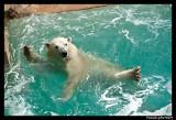 Polar bear raspoutine 6366.jpg