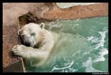 Polar bear raspoutine 6370.jpg