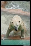 Polar bear raspoutine 6449.jpg