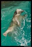 Polar bear raspoutine 5858.jpg