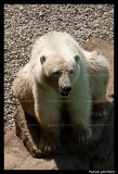 Flocke Polar bear 5814.jpg