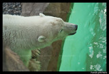 Flocke Polar bear 5929.jpg