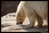 FlockePolar bear 6119.jpg